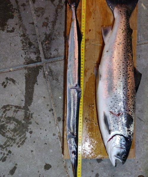 Hornfisk fanget af Christiansloth ved Nordkysten Sjælland om natten