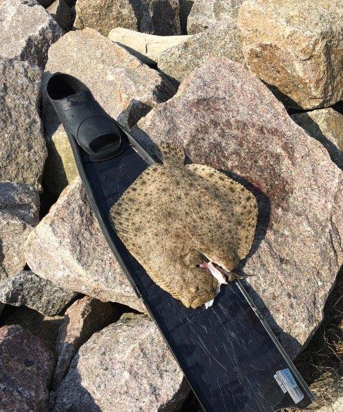 Pighvar fanget af Mads Kongsgaard ved Hammerhavn Bornholm