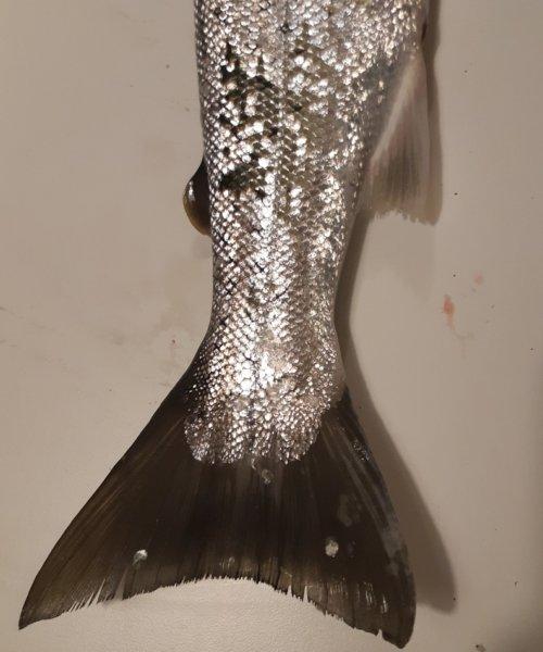 Smuk fisk – Havørred fanget af Jesper Nordin ved Vestsjælland