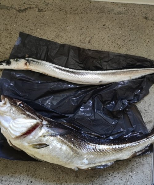 Musikål  – Hornfisk fanget af Joakimnybolangaa ved Kystens perle om natten