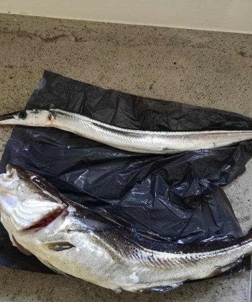 Mange torsk – Torsk fanget af Joakimnybolangaa ved Kystens perle om natten