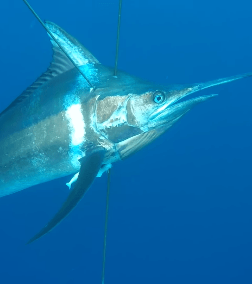 Black Marlin fanget af MadsFJacobsen ved Inhaca Island, Mozambique