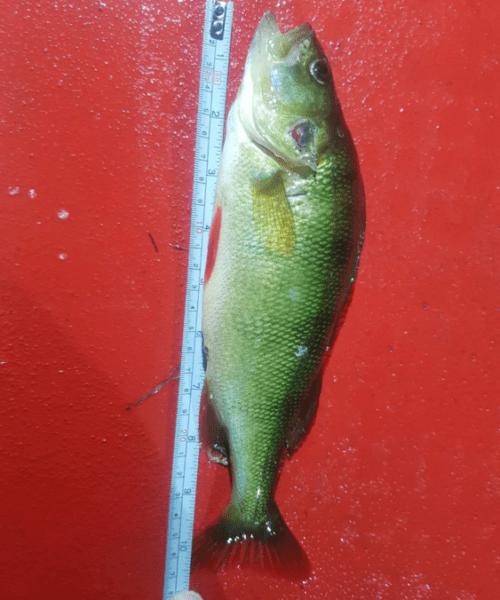 Dårlig sigt – Aborre fanget af fiskerphilip ved Stevns