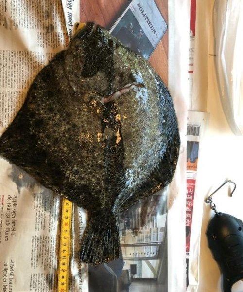 EndnuEn fantastiskNat – Pighvar fanget af frankgellert ved Serjøbugten