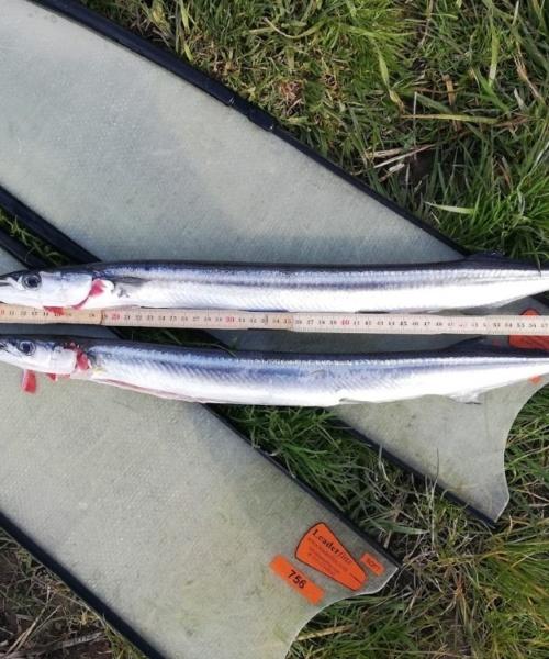 Anden pelagiske – Hornfisk fanget af JonasL ved Sydøst Amager