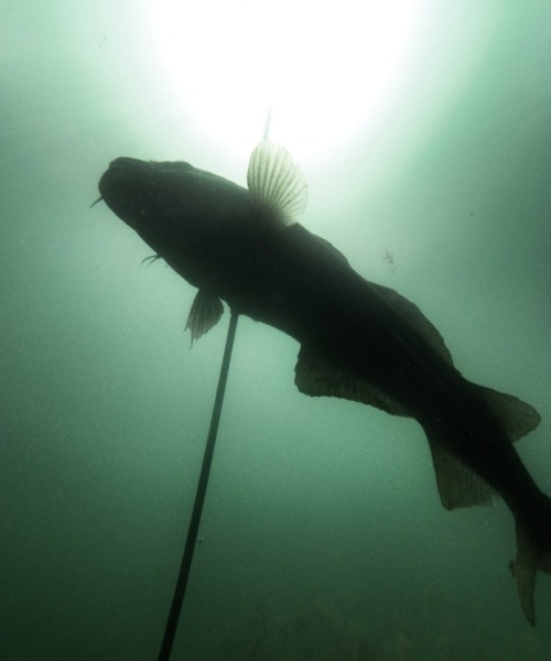 Søde kysttorsk – Torsk fanget af Morten Rosenvold Villadsen ved Strandmøllekroen, Øresund