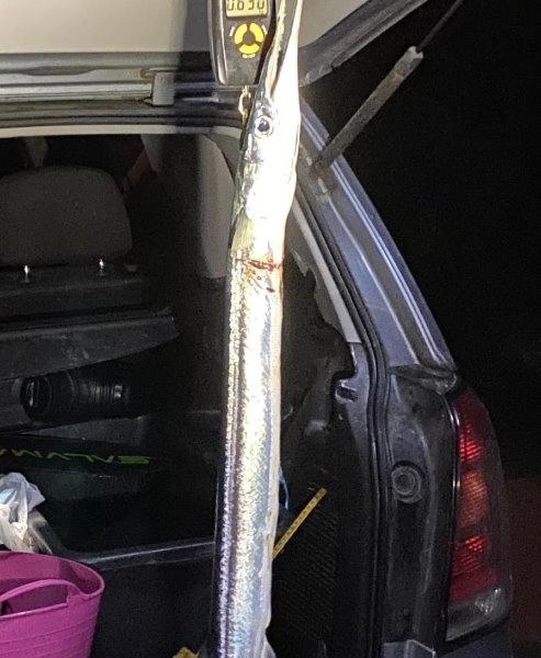 PR Hornfisk – Hornfisk fanget af frankgellert ved Nordsjælland