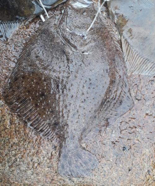 Første pighvar – Pighvar fanget af PeterPetersen ved Strandmøllekroen