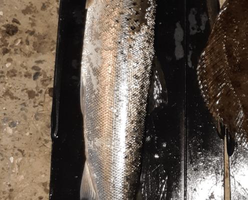 Første lassoørred – Havørred fanget af Christian SCH ved Reersø