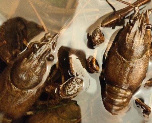 Grusgrav fræs – Galizisk Sumpkrebs fanget af Morten Rosenvold Villadsen ved Sjælland