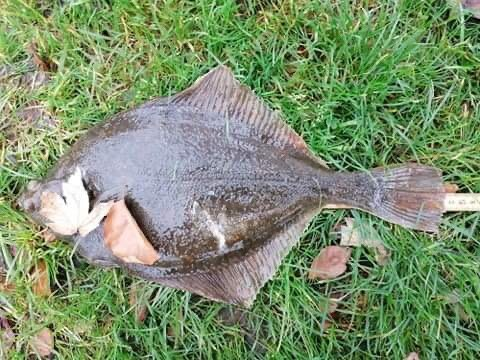 Tykke fisk – Skrubbe fanget af Dani459e