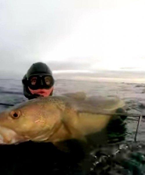 Jule torsk – Torsk fanget af williamsiefert ved Øresund