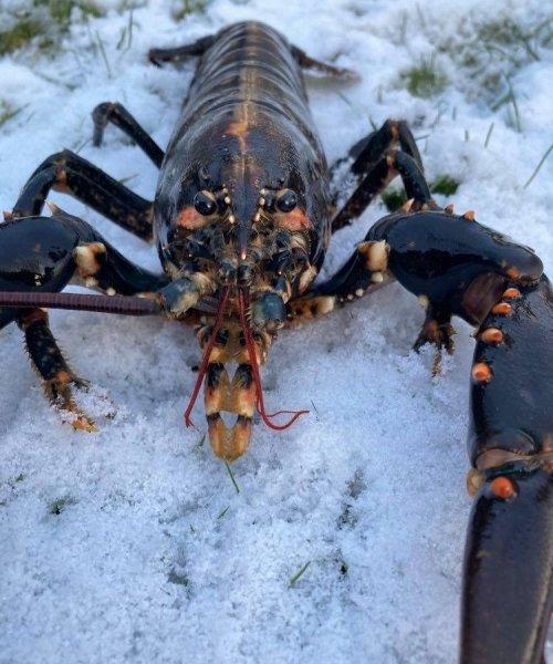 Hyggeligt  – Hummer fanget af PeterPetersen ved Limfjorden