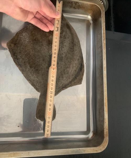 Første pighvar – Pighvar fanget af mikkel-eskildsen ved Køge