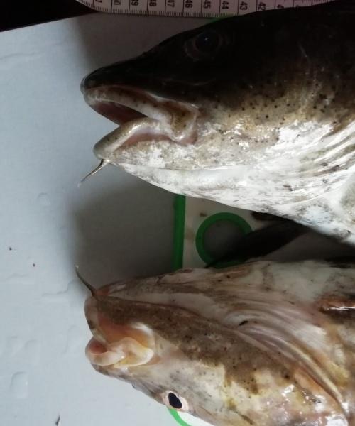 Mange torsk – Torsk fanget af Tom ved Øresund
