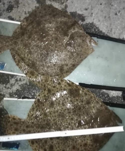 2pighvar – Pighvar fanget af Tom ved Hornbæk