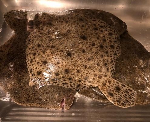 Lille pighvar – Pighvar fanget af Jonathan ved Nordsjælland
