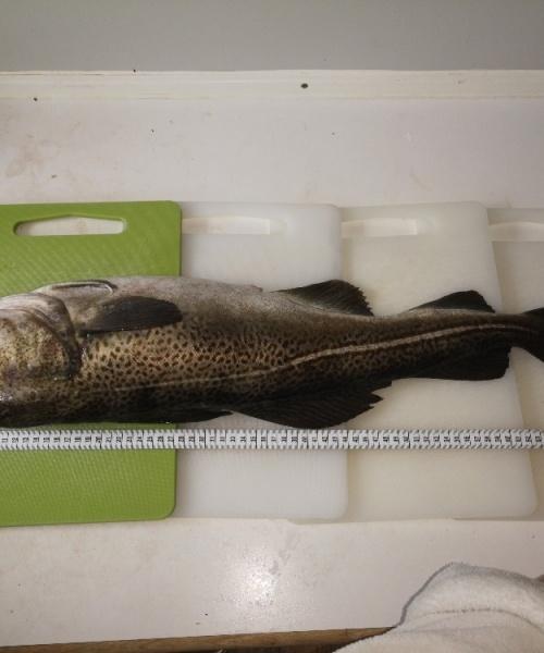 Fiskepind – Torsk fanget af BirdHellmannChristofferChristoffer ved Øresund