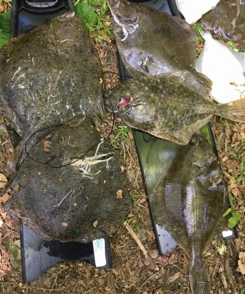 Haleløs pighvar – Pighvar fanget af knud-munk ved Sydfyn