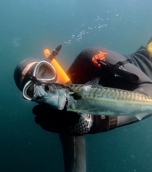 Makrel fanget af MK.Havbasserne