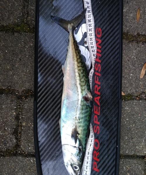 Ny pr – Makrel fanget af Hrpaaske83 ved Vesterhavet